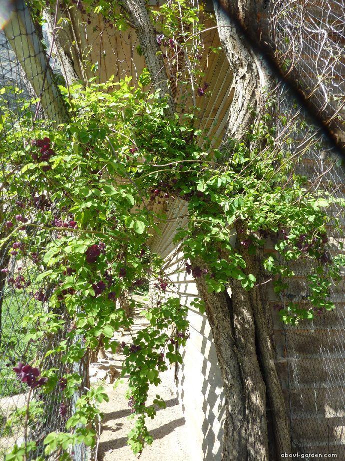 Akébie pětičetná (Akebia quinata)