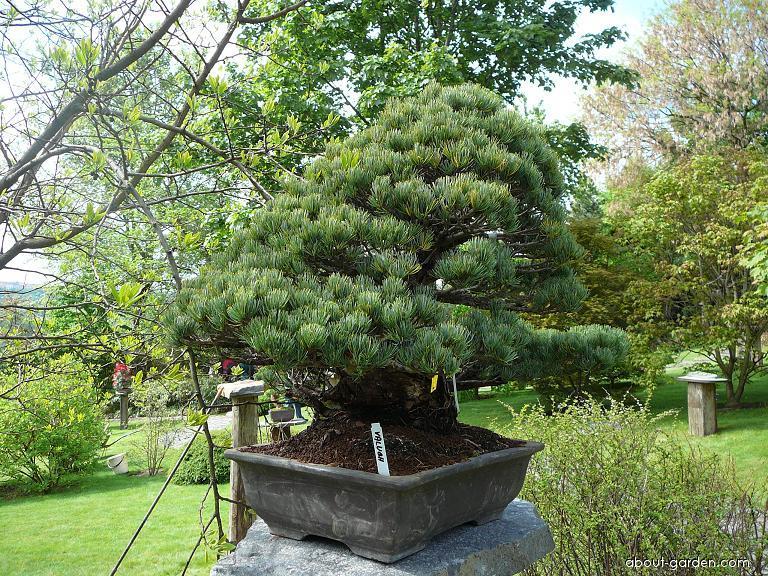 Bonsaje - výstava v Japonské zahradě