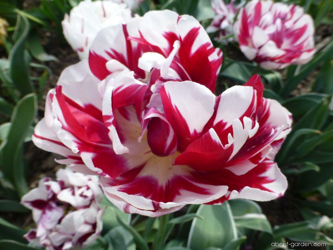Tulip - Tulipa Carnaval de Nice