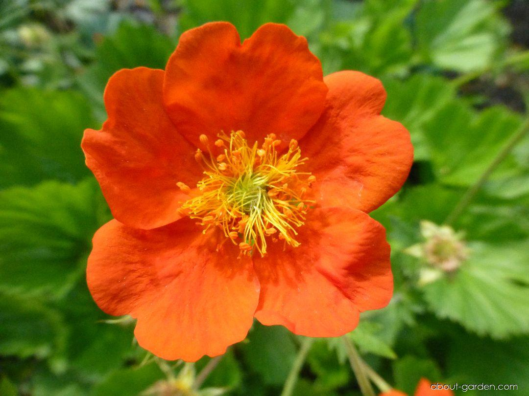 Dwarf Orange Avens - Geum coccineum Cooky