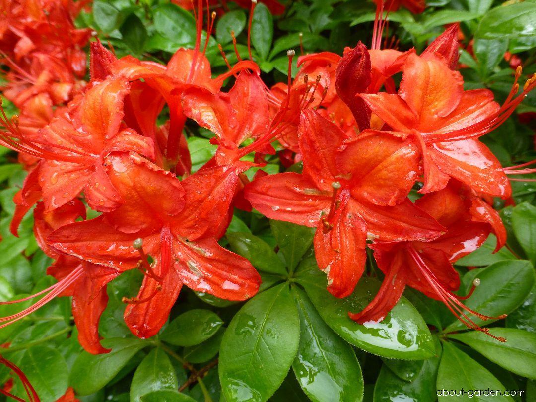 Rhododendron - Rhododendron Satan
