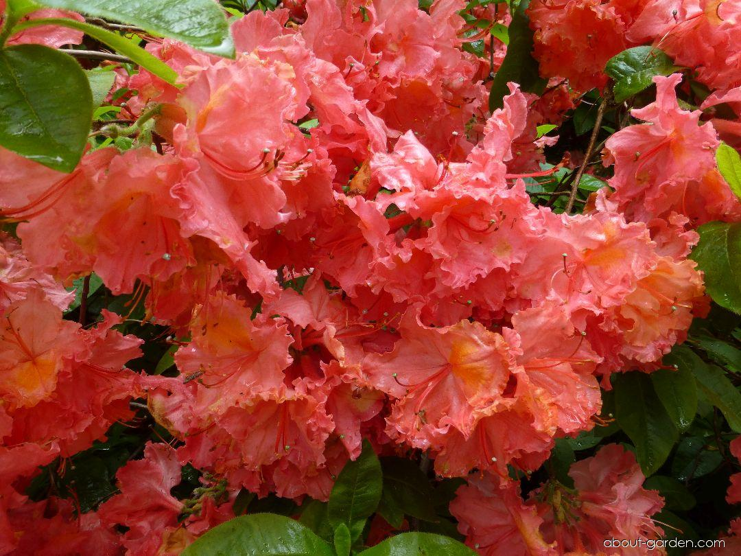 Rhododendron - Rhododendron Sarina
