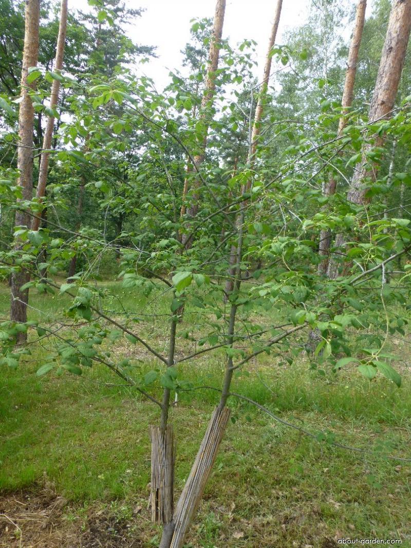 Brslen červený (Euonymus sanguineus)