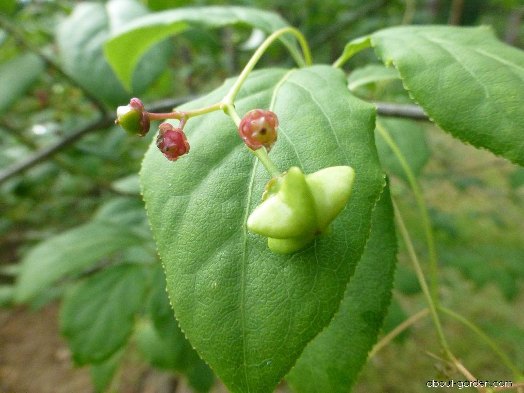Brslen červený - list a plod (Euonymus sanguineus)