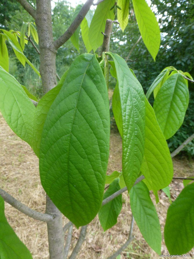 Muďoul trojlaločný - list (Asimina triloba)