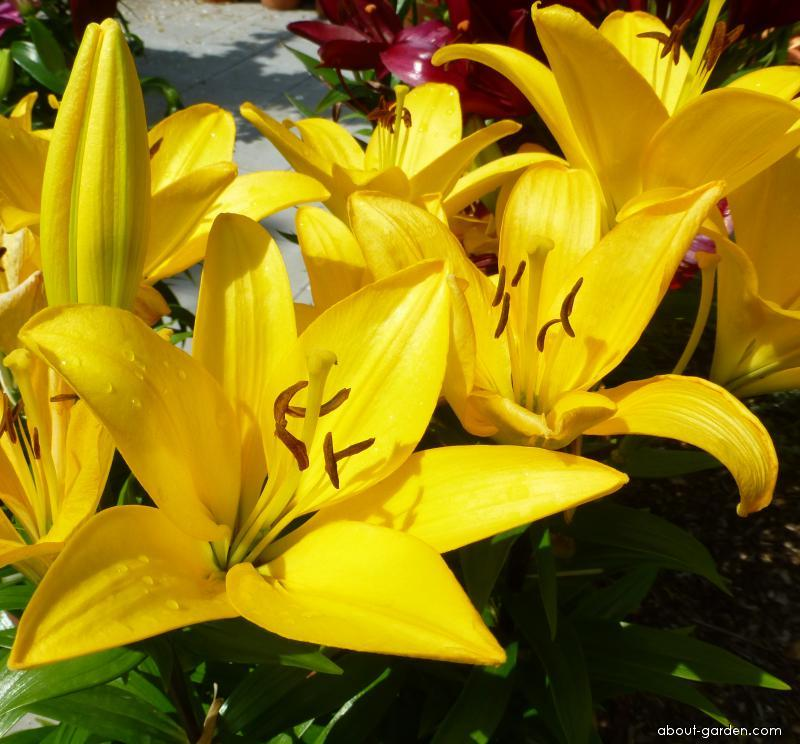 Lily - Lilium x hybridum Serrada