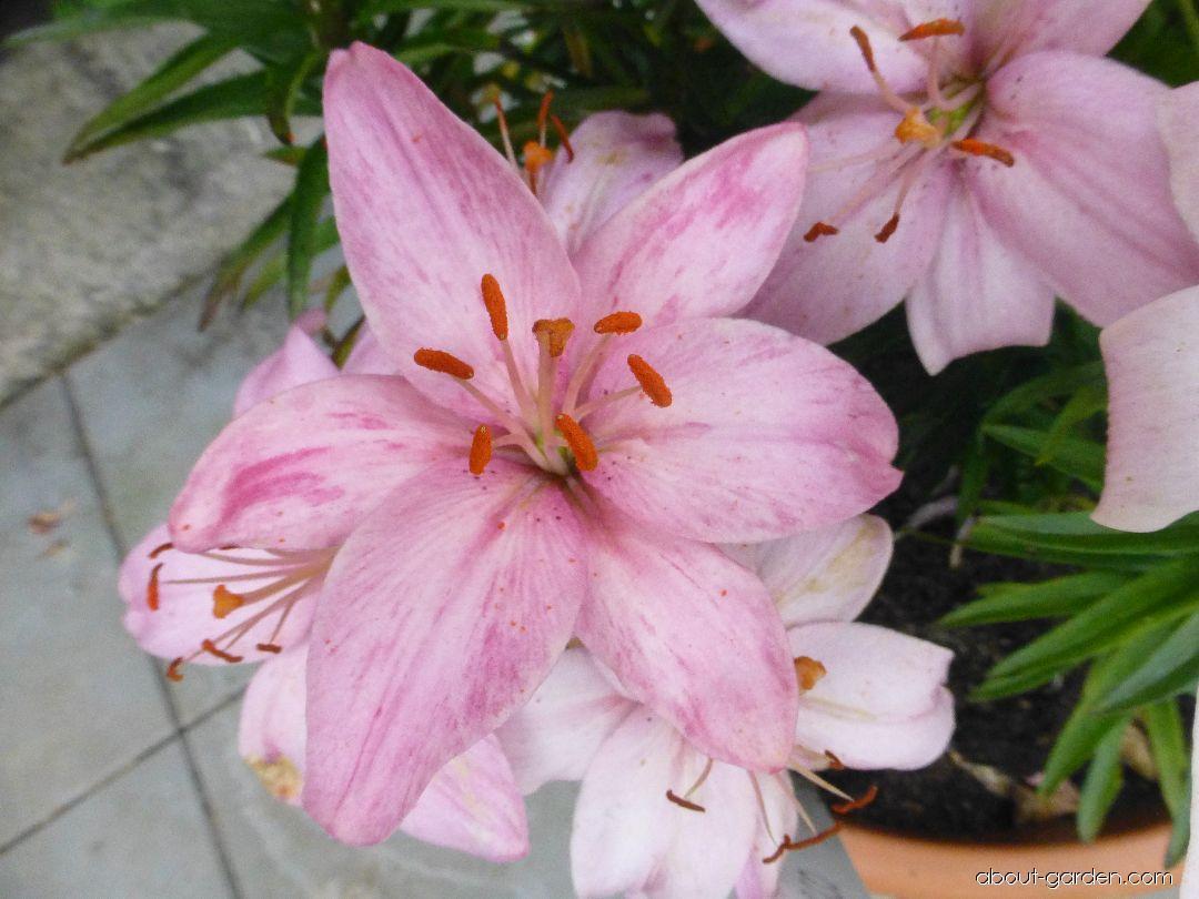 Lily - Lilium x hybridum Disco