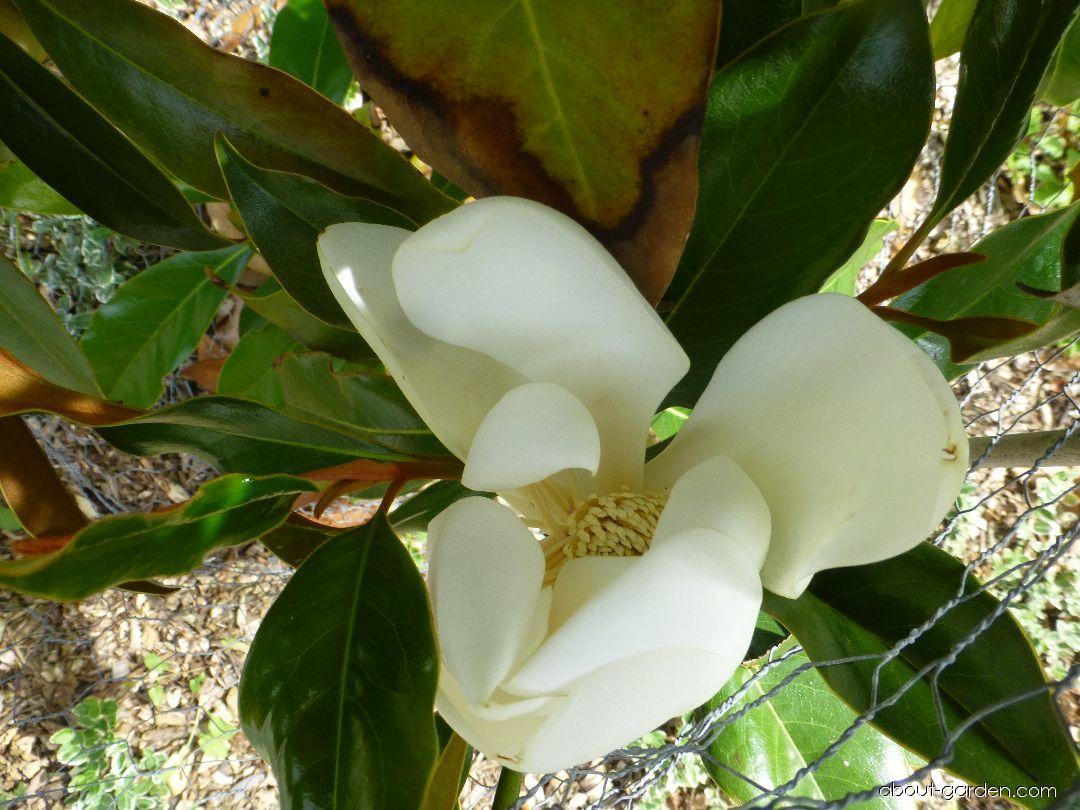Bull Bay - Magnolia grandiflora Kay Parris