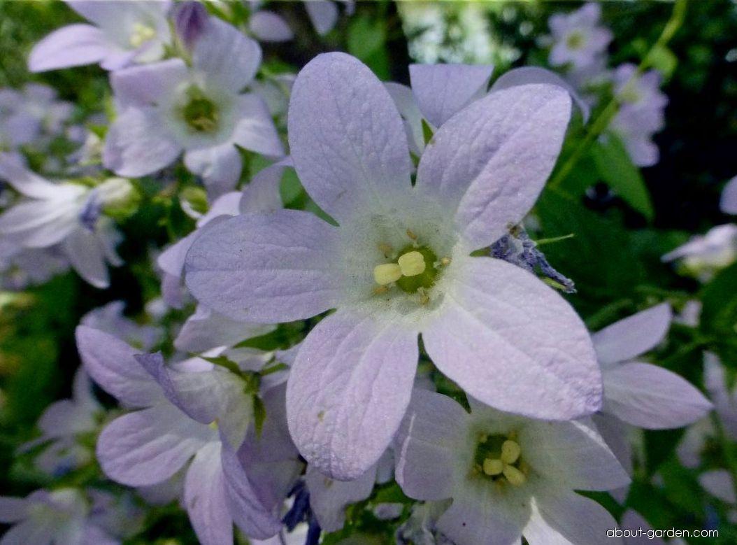Zvonek mléčný Loddon Anna - květ (Campanula lactiflora)