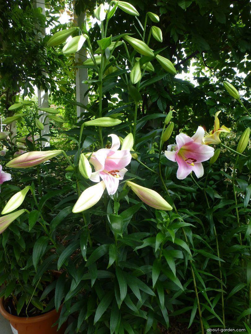Lily - Lilium x hybridum Prince Promise