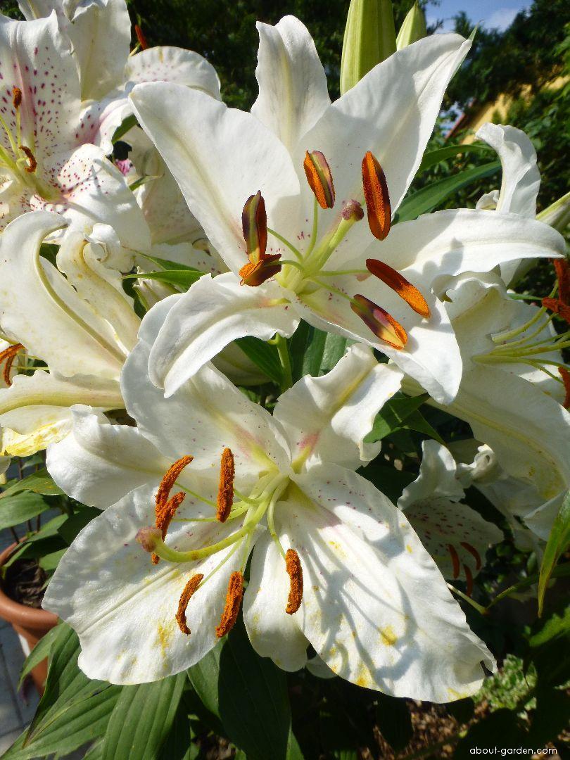Lilie Muscadet - Orientální hybridy (Lilium x hybridum)