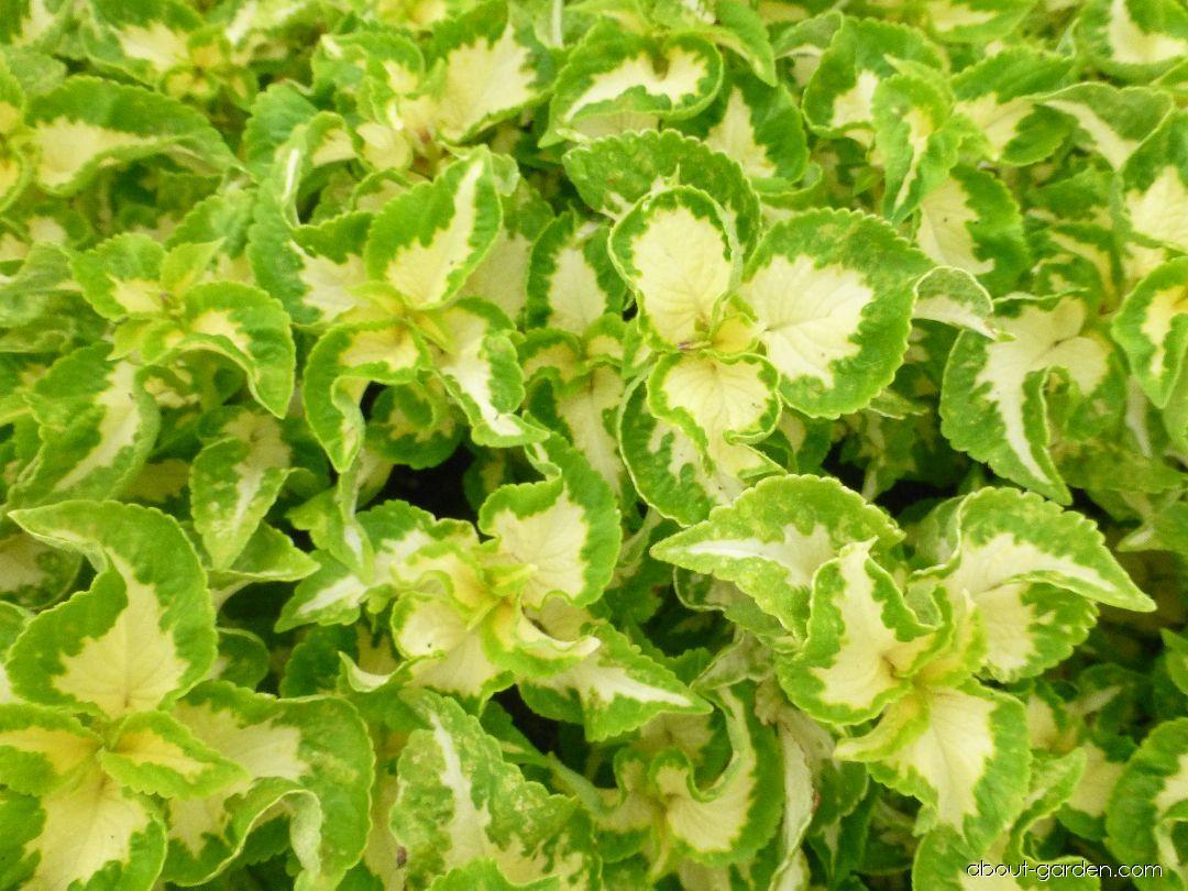 Coleus - Plectranthus scutellarioides Wizard Jade