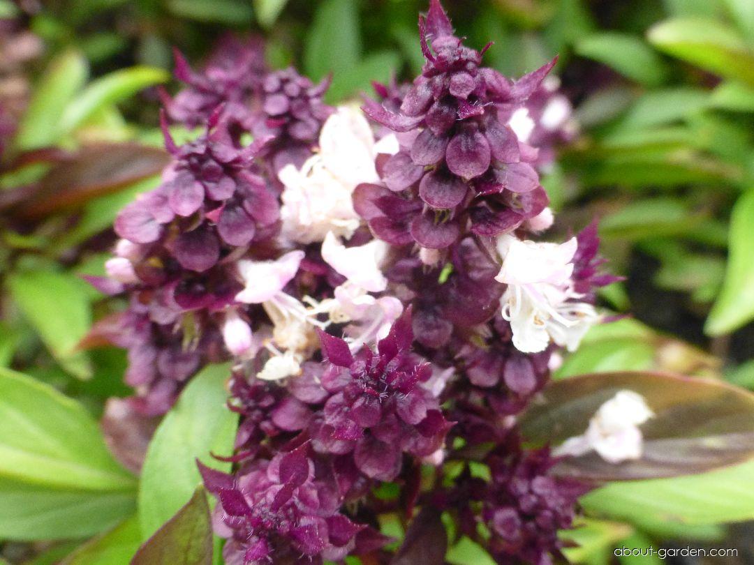 Sweet Basil - Ocimum basilicum Thai