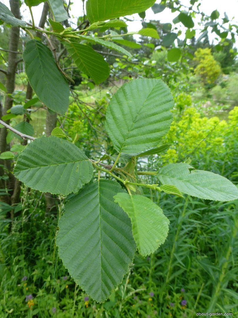 Olše podlouhlolistá - větévka s listy (Alnus oblongifolia)