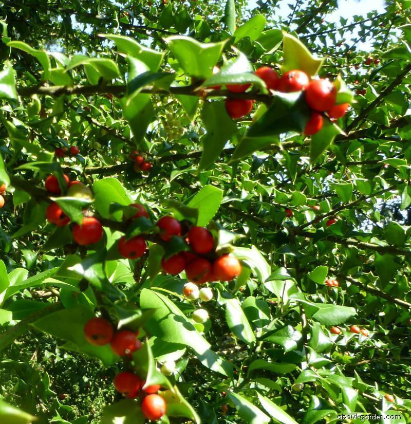 Cesmína Pernyova - větévky s plody (Ilex pernyi)