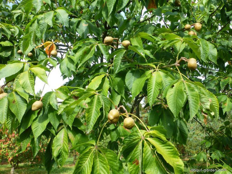 Jírovec Dupontův - větve s plody (Aesculus x dupontii var hessei)