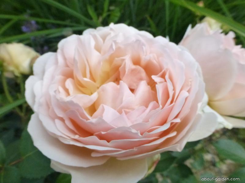 Rose - Rosa Dove