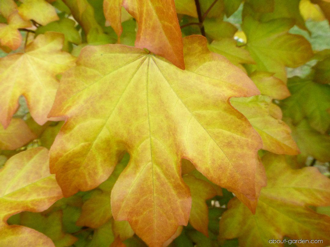 Maple - Acer x orientalia Minorient ®