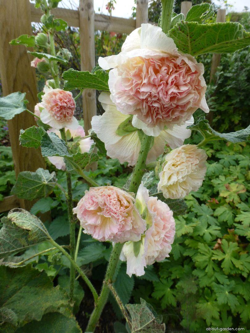 Topolovka růžová - květ (Alcea rosea)