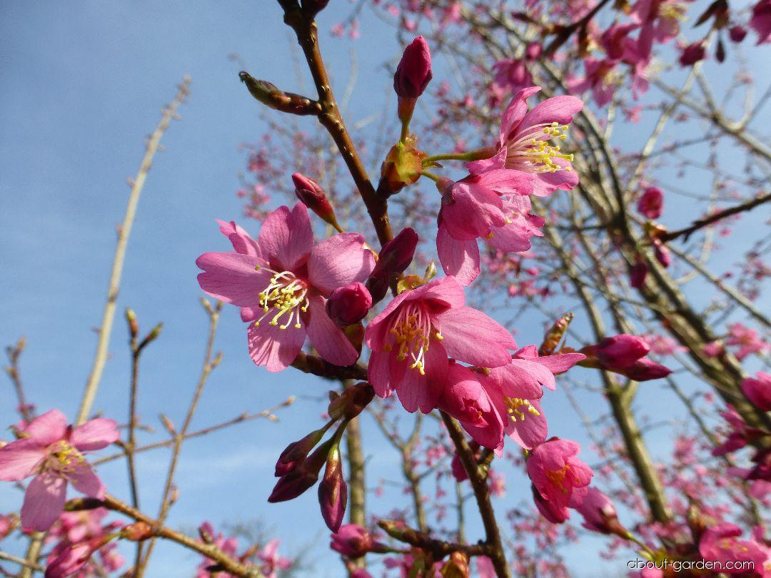 Japanese Cherry - Prunus serrulata Collingwood Ingram