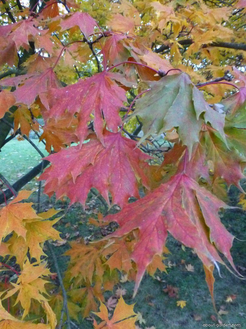 Norway maple - Acer platanoides Dissectum