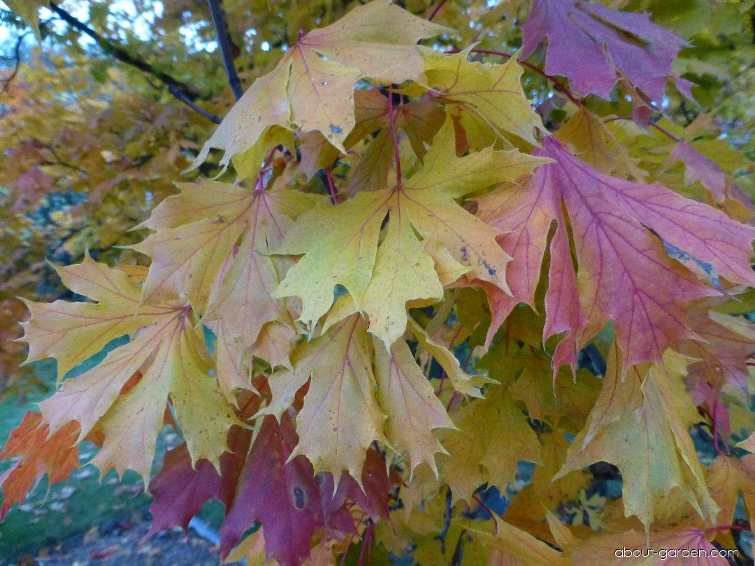 Norway maple - Acer platanoides Dissectum
