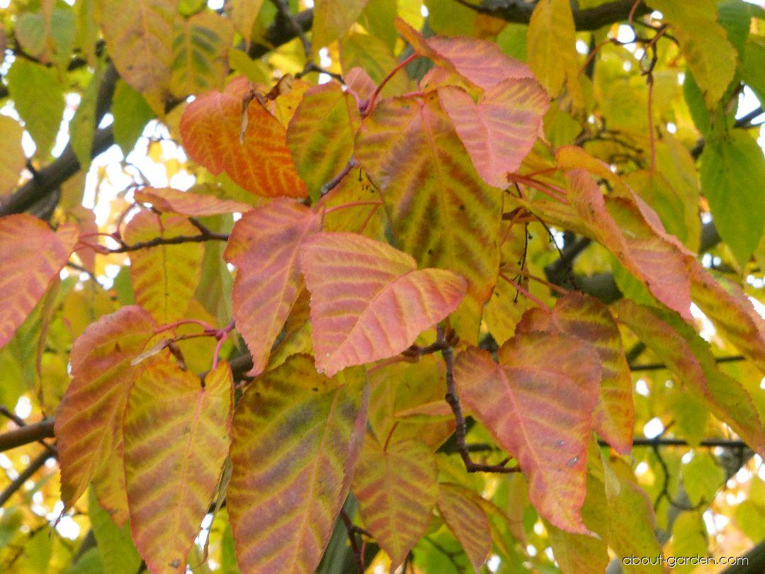 Javor řídkokvětý - podzimní barvení (Acer laxiflorum)