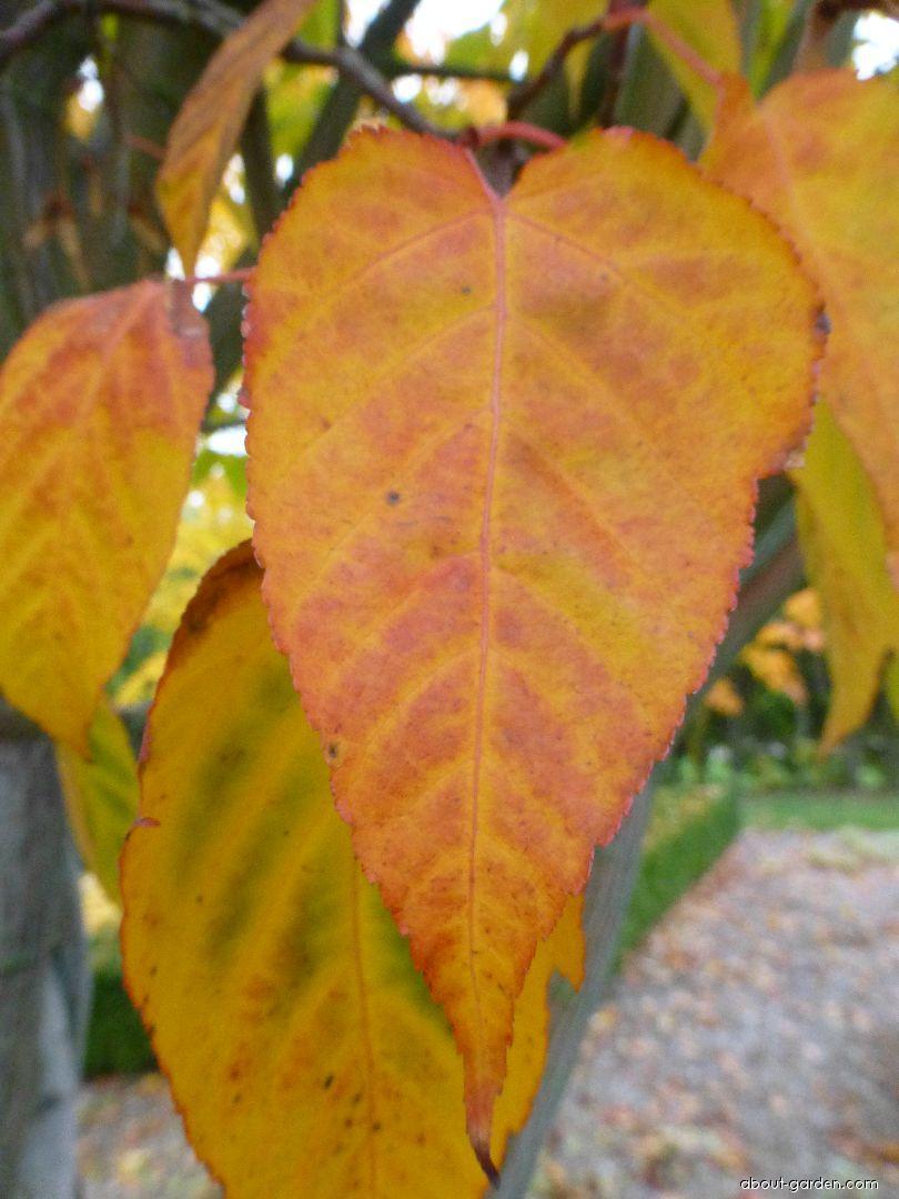 Javor řídkokvětý - podzimní list (Acer laxiflorum)
