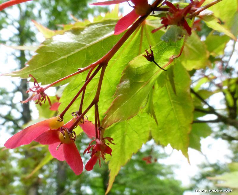 Japanese maple - Acer palmatum Heptalobum