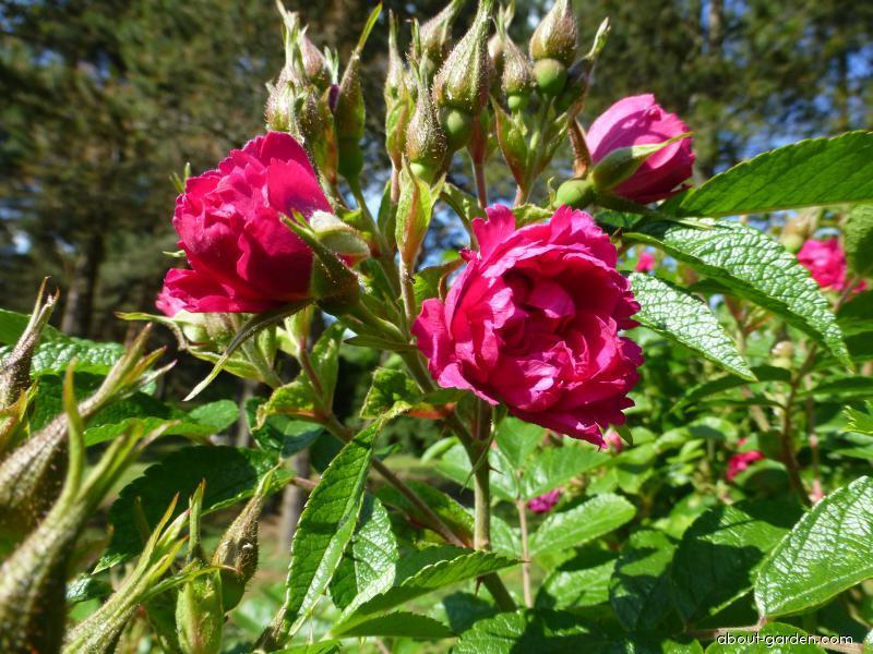 Japanese rose - Rosa rugosa F. J. Grootendorst