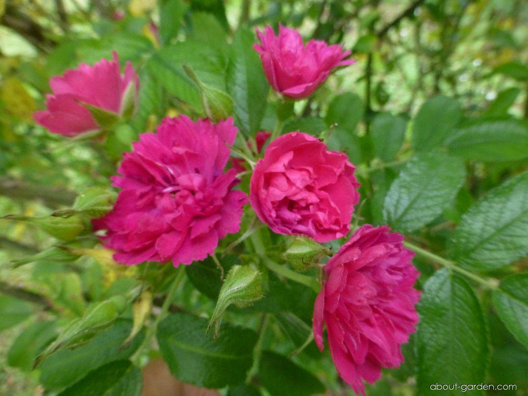 Růže svraskalá F J Grootendorst - větévka s květy (Rosa rugosa)