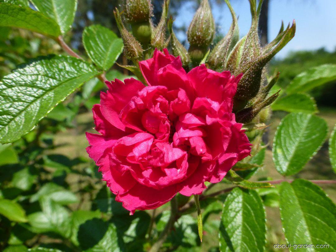 Růže svraskalá F J Grootendorst (Rosa rugosa)