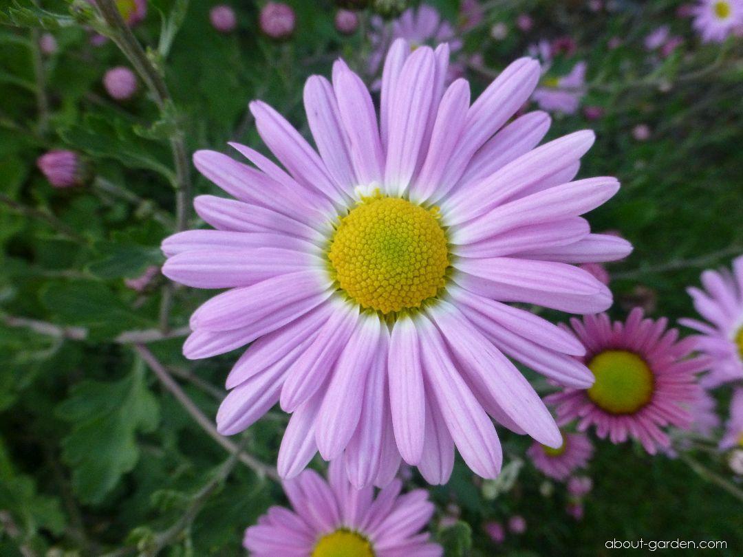 Chrysanthemum - Chrysanthemum hybridum Gerlinde