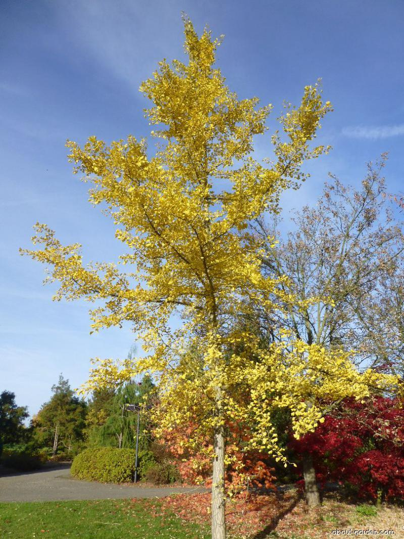 Maidenhair tree - Ginkgo biloba