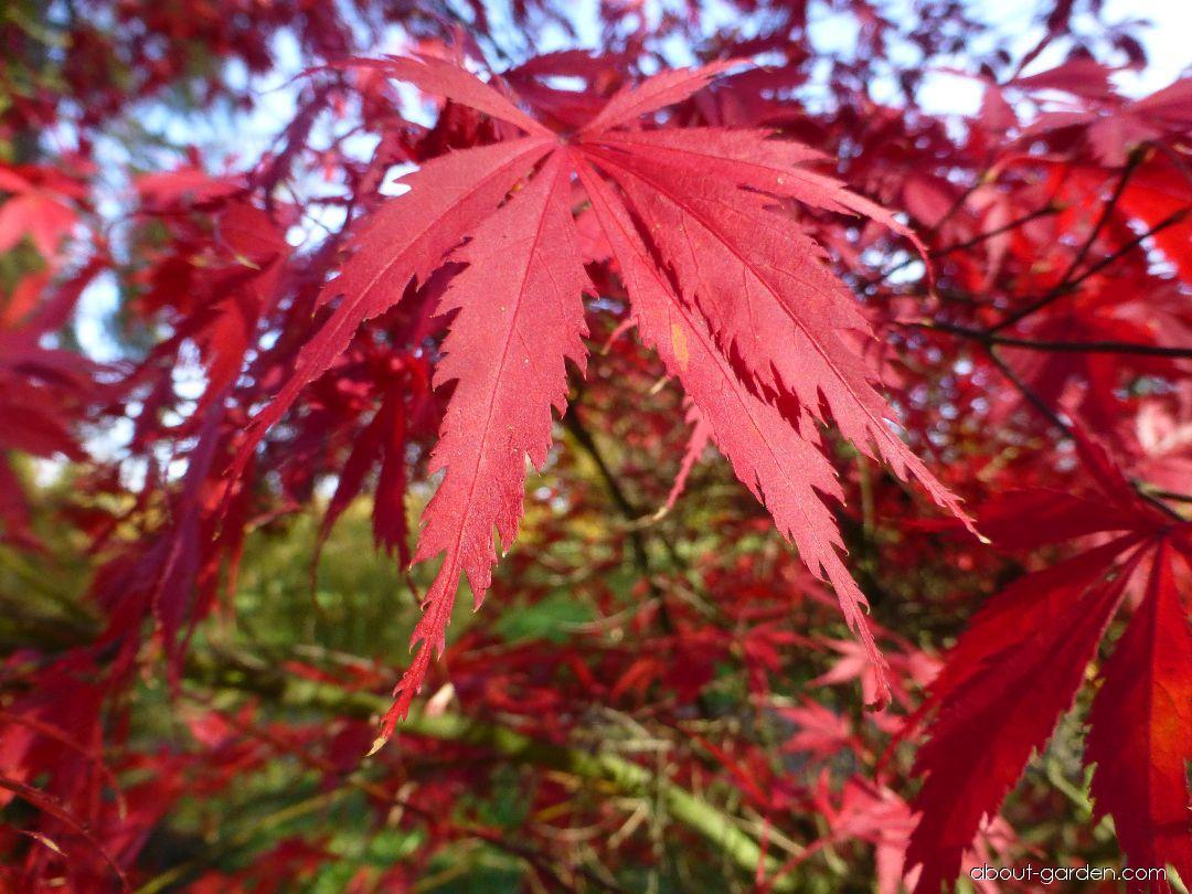Japanese maple - Acer palmatum Burgundy Lace