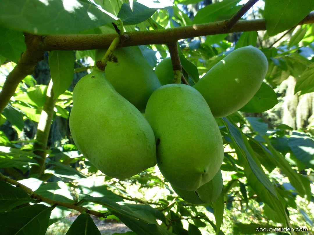 Muďoul trojlaločný - plody na konci srpna (Asimina triloba)