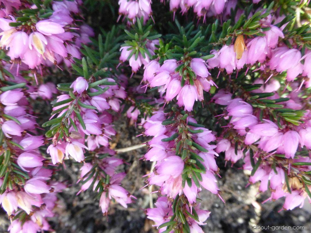 Winter Heath - Erica carnea Praecox Rubra
