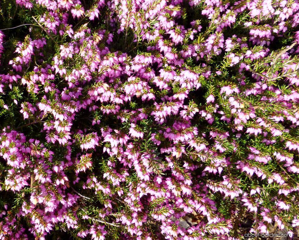 Winter Heath - Erica carnea Praecox Rubra