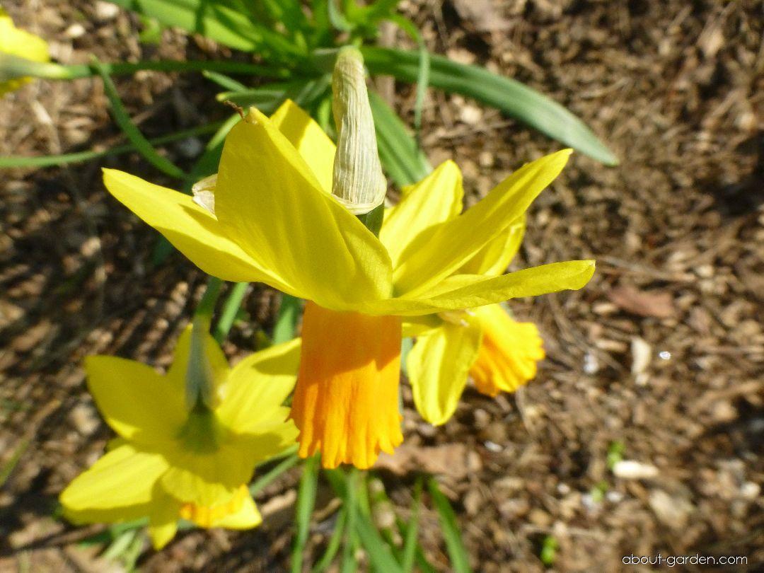 Daffodil - Narcissus Jetfire