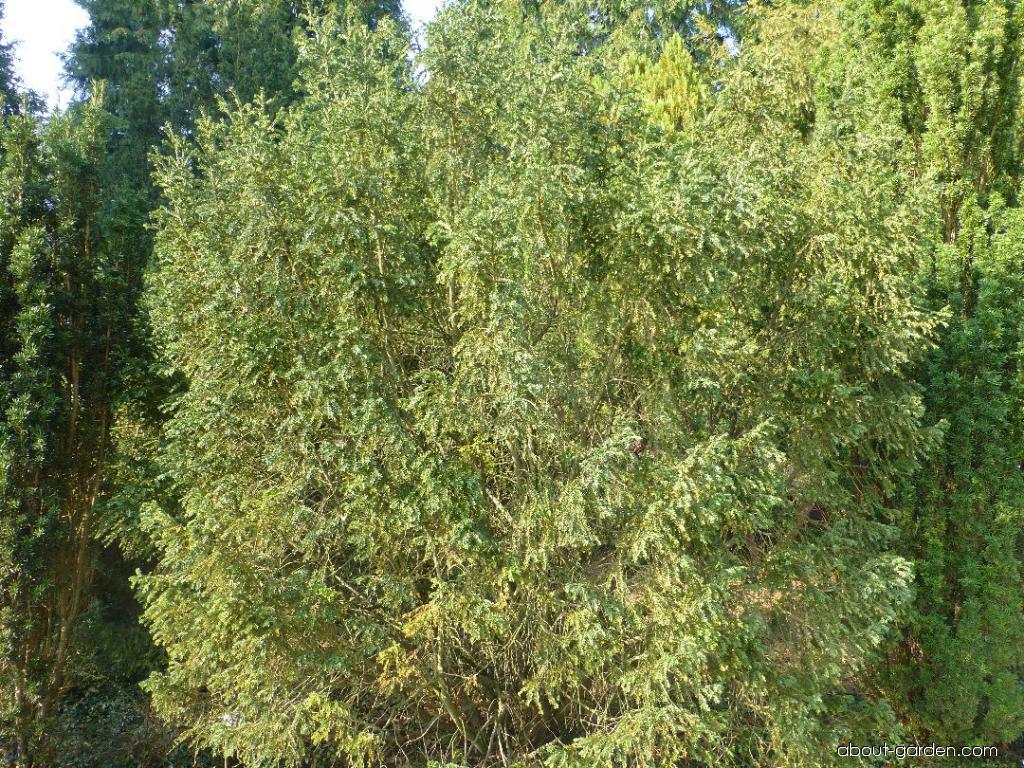 Tis červený Adpressa - habitus (Taxus baccata)