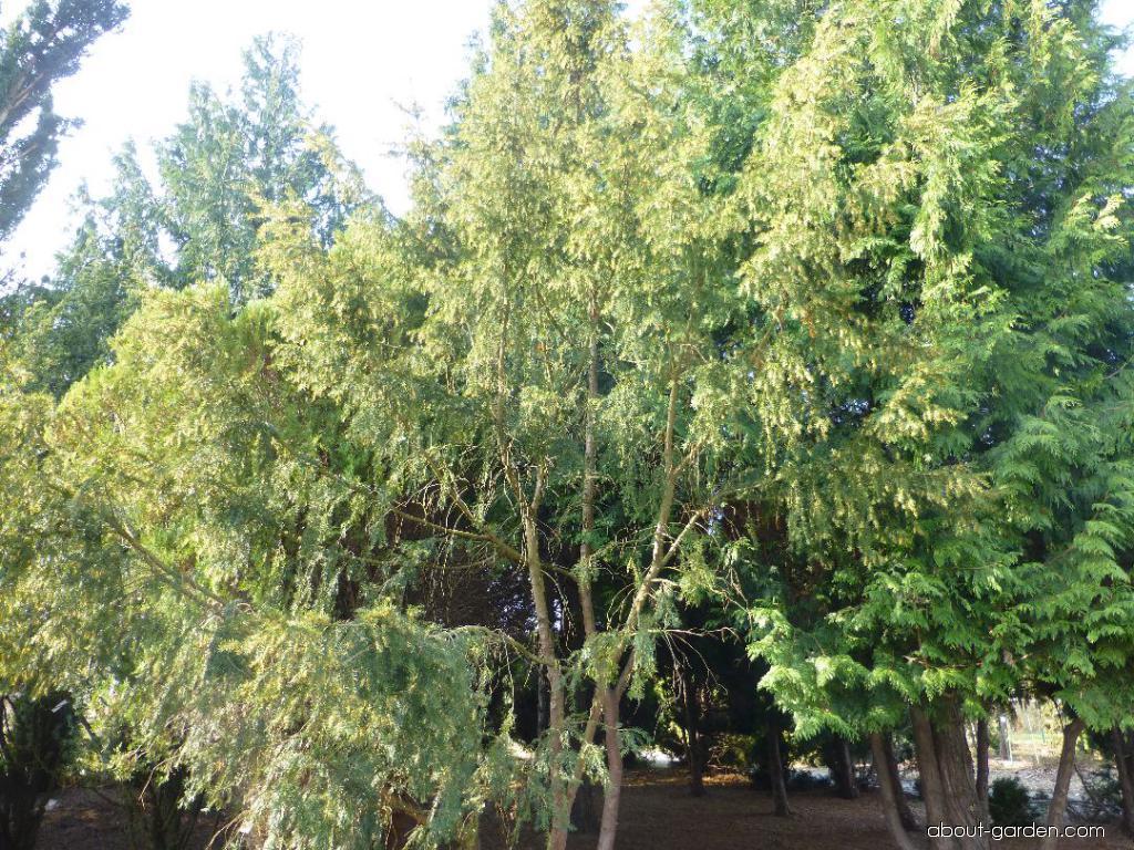 Common Yew - Taxus baccata Pendula Graciosa