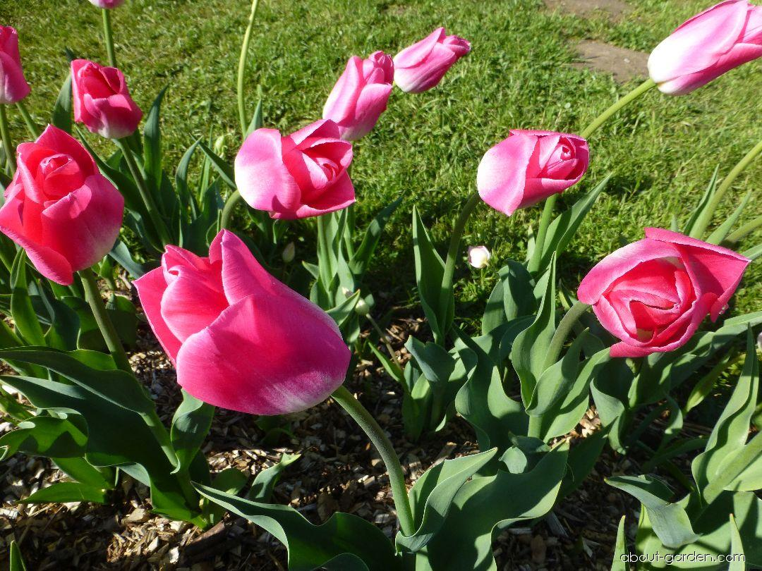 Tulip - Tulipa Dynasty