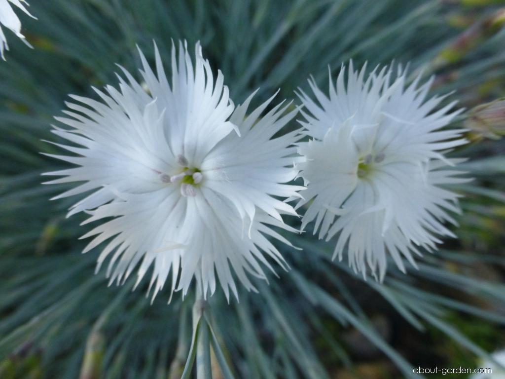 Hvozdík turkestánský (Dianthus turkestanicus)