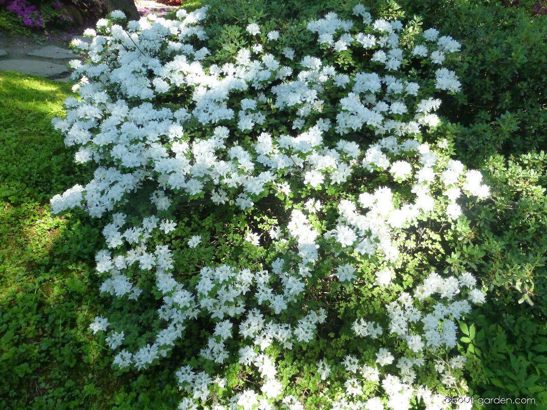 Pěnišník kiušijský Albiflorum (Rhododendron kiusianum)