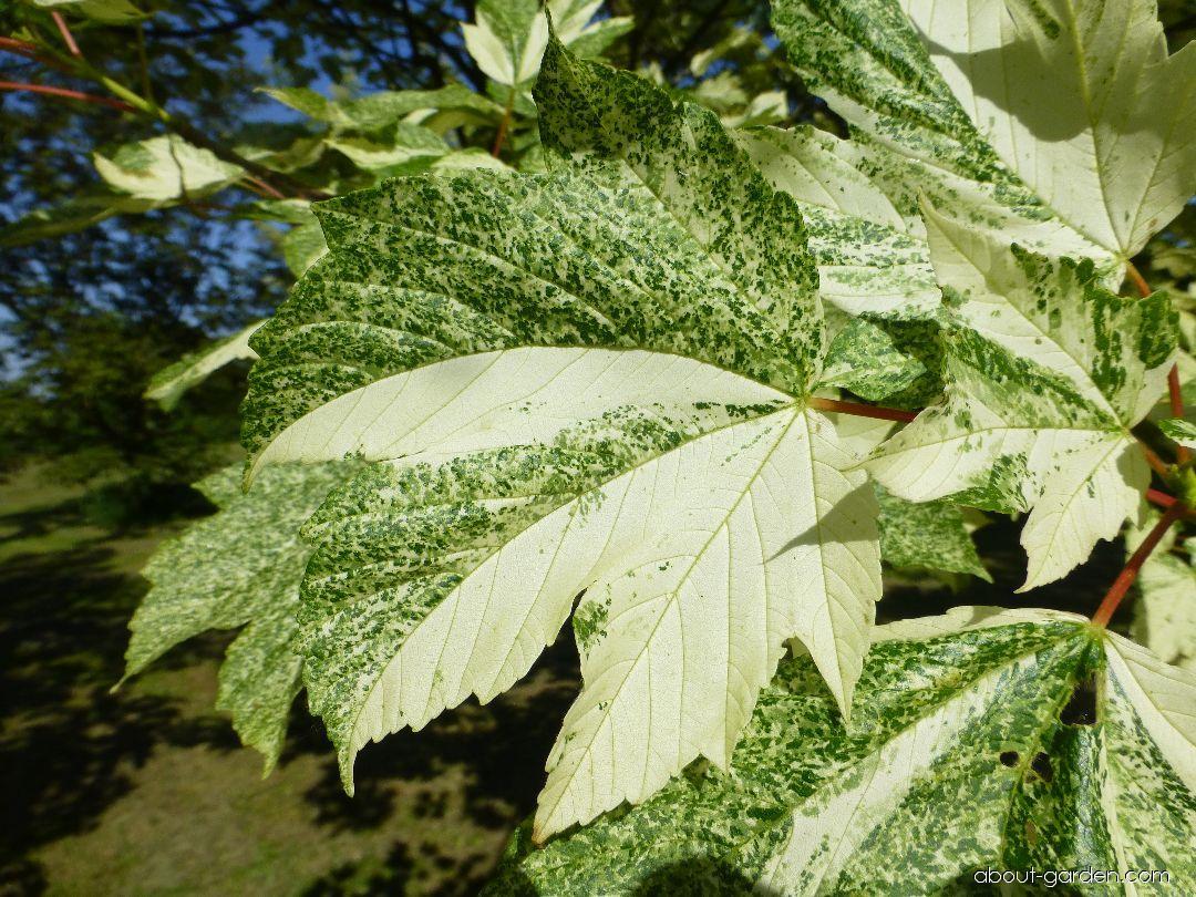 Sycamore maple - Acer pseudoplatanus Simon Louis Freres