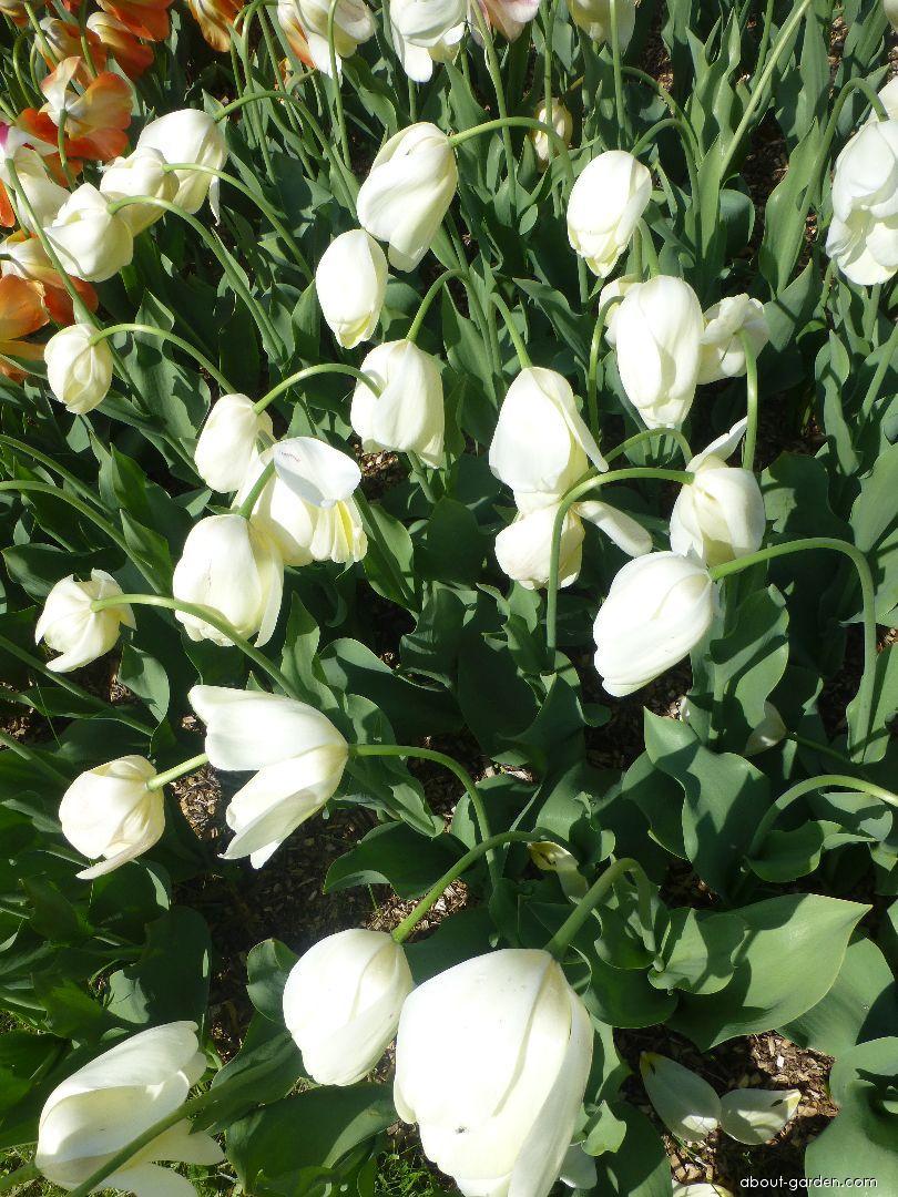 Tulip - Tulipa Ivory Floradale