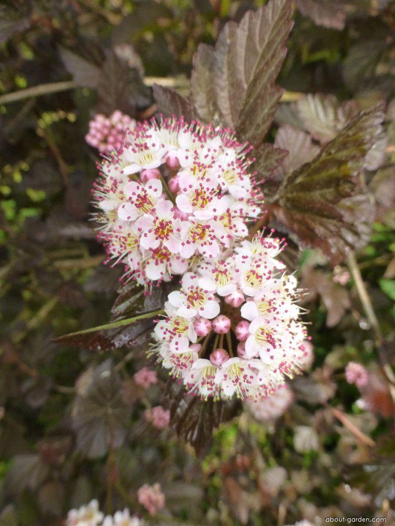 Tavola kalinolistá André (Physocarpus opulifolius)