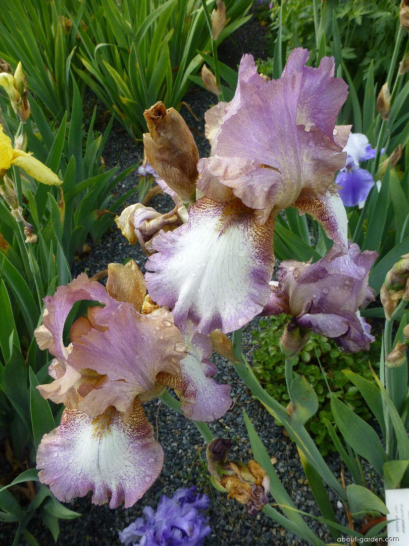 Bearded Iris - Iris barbata Alena