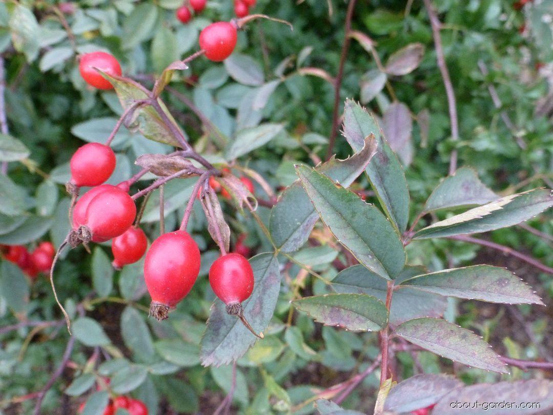 Růže sivá - větévka s plody (Rosa glauca)