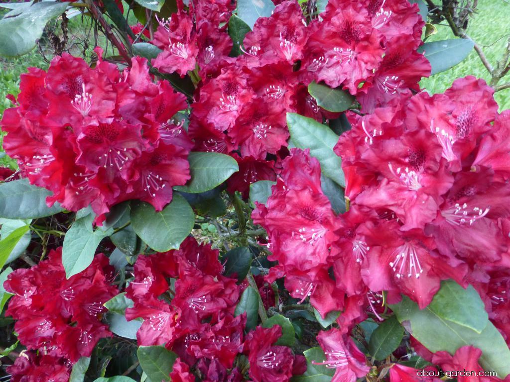 Rhododendron - Rhododendron Tarantella